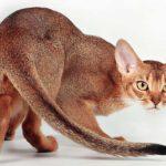 Абиссинский кот показывает характер