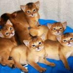 Фото абиссинских котят