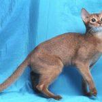 Фото голубой абиссинской кошки