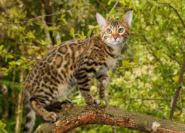 Мини леопард