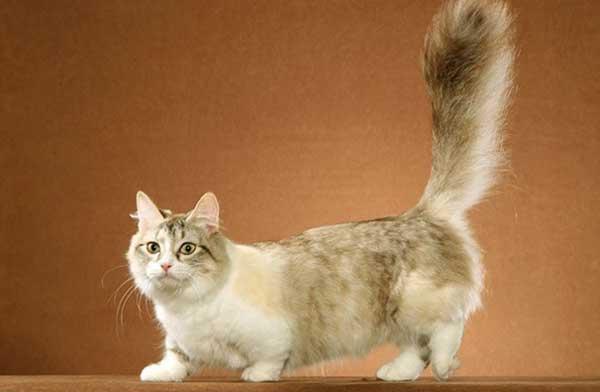 Манчкин кошка с короткими лапами