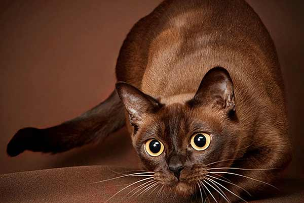Кошка бурма (бурманская)