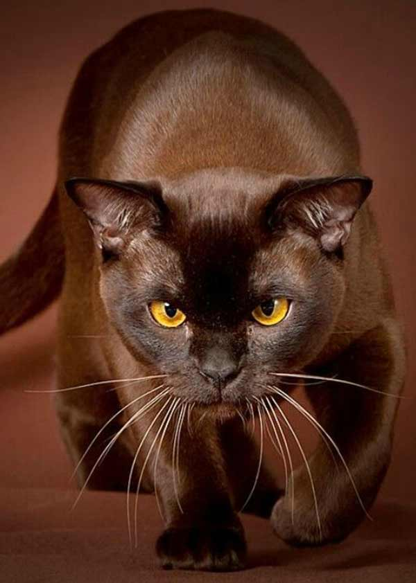 Уход за бурманской кошкой