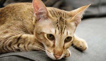 Чумка у кошек симптомы и лечение, первые признаки