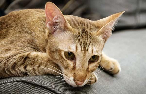 чумка у кота симптомы и лечение