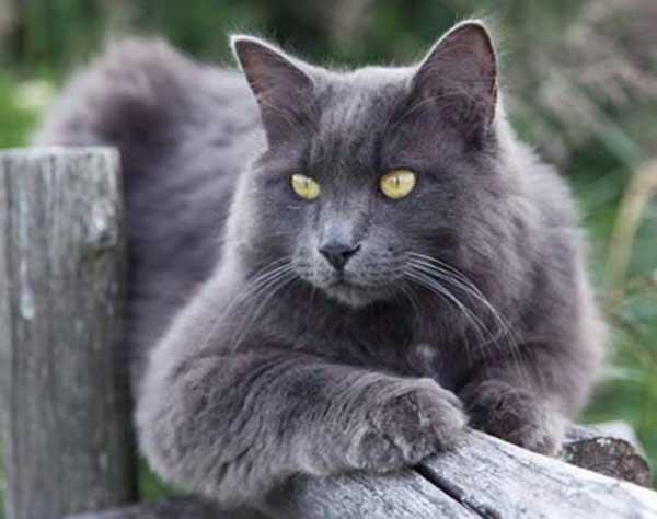 Нибелунг - порода кошек