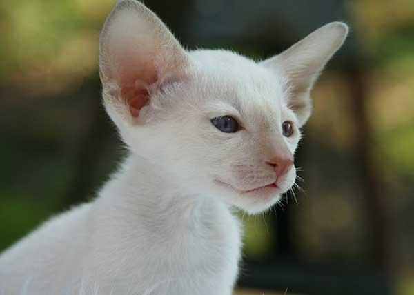 Окрас сиамского котенка