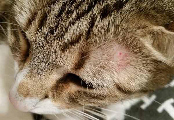что такое лишай у кошек
