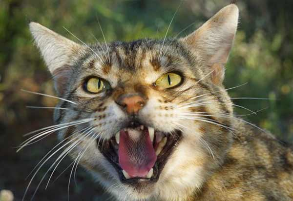 Как определить токсоплазмоз у кошек