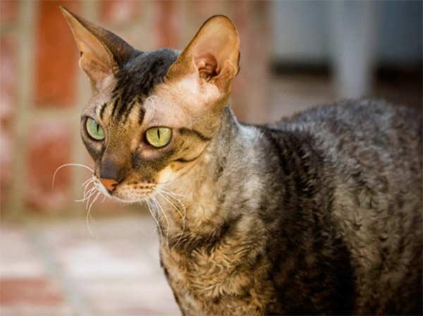 Кот породы Корниш рекс