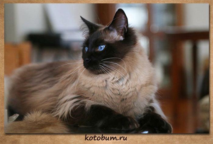 История балинезийской кошки