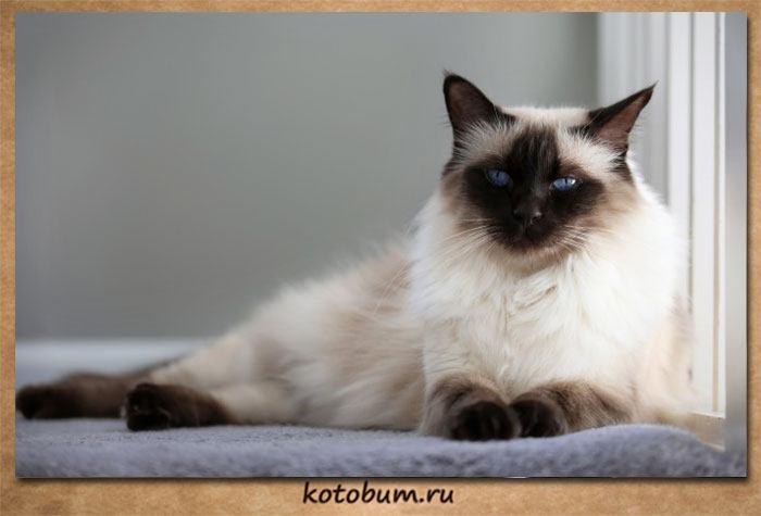 Описание породы балийская кошка