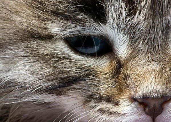 Конъюнктивит у кошек и котов