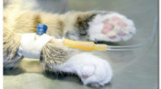 Почечная недостаточность у кошек