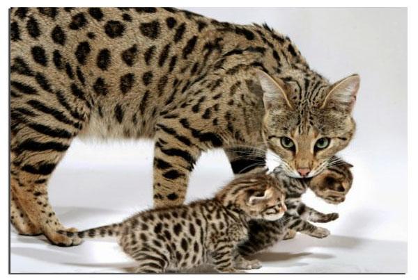 Котята кошки саванны