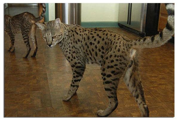 Характер котов саванны