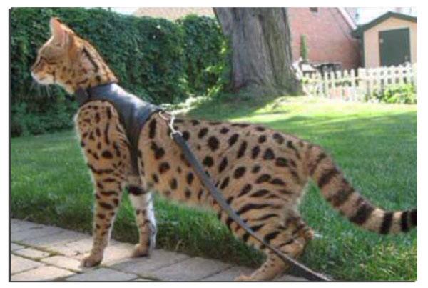 Кошка саванна на поводке