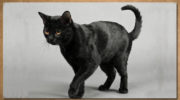 Содержание бомбейской кошки и уход за ней