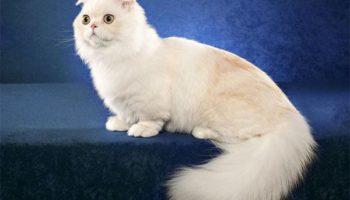 Уход и содержание кошки наполеон