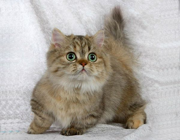 Котёнок породы Наполеон
