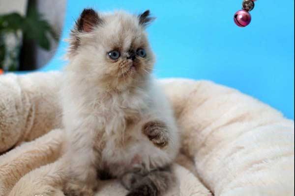 Кошечка персидской породы