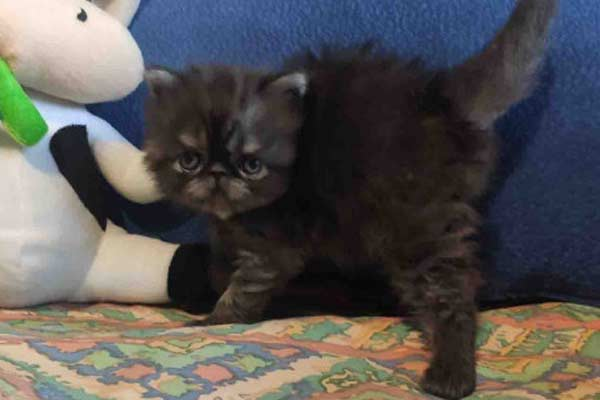 Милый персидский котенок