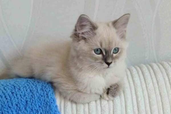 Котенок породы Регдол