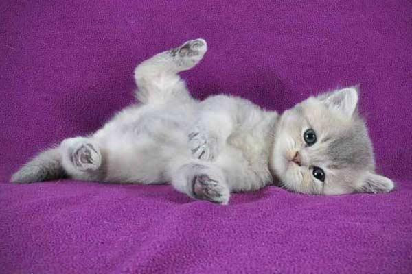 Британский котенок по кличке Индиго