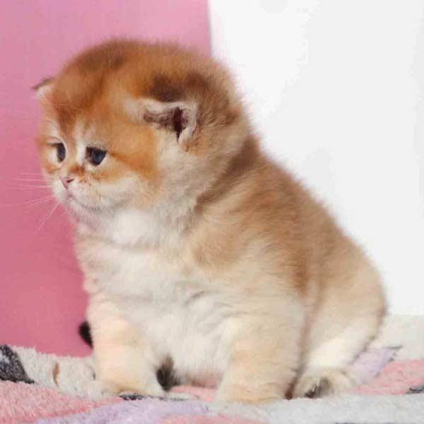 Фото британского котенка
