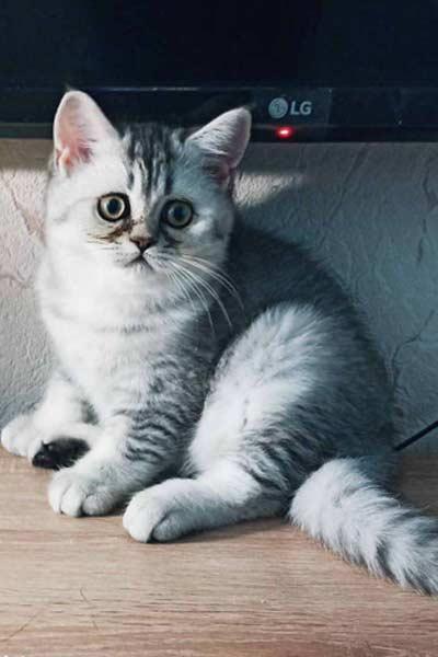Милый котенок британской породы