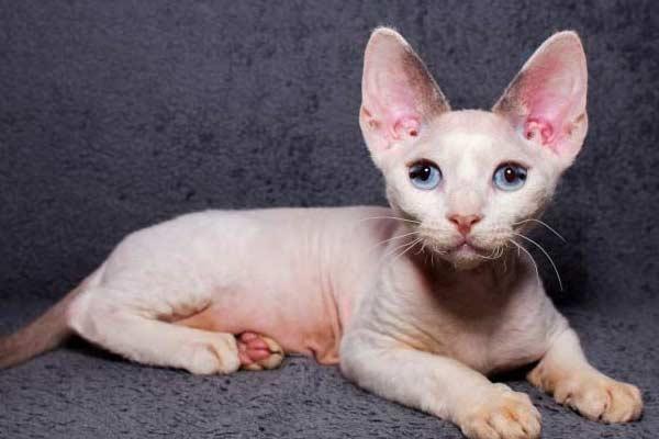 Фото маленького котенка девон рекс